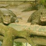 065alligator