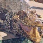 065alligator4